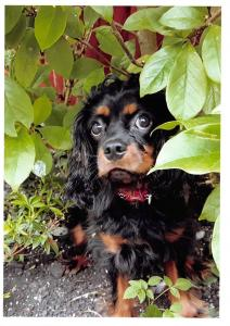 Postcard Cavalier King Charles Spaniel Dog Puppy, Black and Tan #49