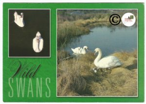 Nature Postcard Wild Swans in Southern New England Bernard Ludwig Gordon