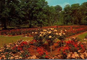 South Carolina Orangeburg Edisto Gardens Roses 1972