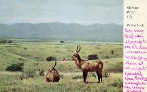 African Wildlife - Waterbuck