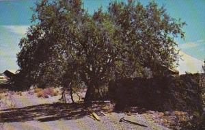 Arizona Wickenburg Hangman Tree At The Vulture Mine