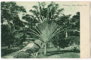 Travelers Tree, Miami Florida