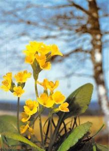 Schlusselblumen Friedrich Bormann Flowers, Fleurs