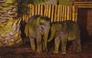 Baby Indian Elephants San Diego Zoo