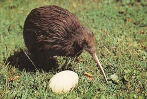 New Zealand Birds The Kiwi and Egg