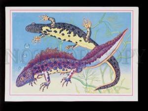 075764 Triturus Cristatus TRITON Old colorful PC