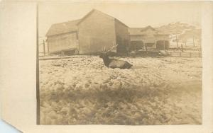 Moose Buried In a Snowy Field And A Barn~Real Photo Postcard c1920