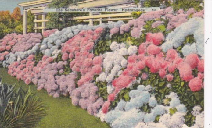 The Seashore's Favorite Flower Hydrangeas 1957 Ocean City New Jersey