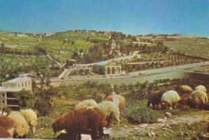 Mount of Olives,  Garden of Gethsemane,  Jerusalem,  Israel,   40-60s