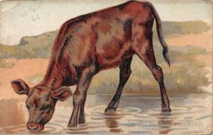 Cattle Calf, Study of Drinking, Tuck's Animal Studies