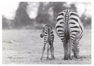 Postcard Zebra Foal One Day Old, Amboseli KENYA August 1975 #64