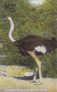 Major McKinley, Cawston Ostrich Farm, California, 00-10s