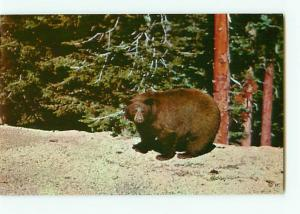 Vintage Postcard American Black Bear Brown in Color Yellowstone # 2471