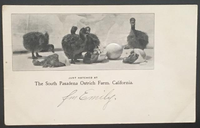 The South Pasadena Ostrich Farm California Embossed Private Mailing Card