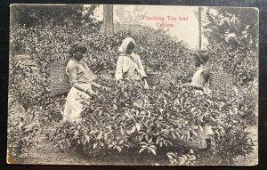 Mint Ceylon Real Picture Postcard RPPC Plucking Tea Leaf