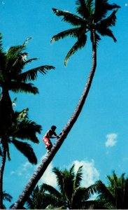 Hawaii Coconut Tree Climbing