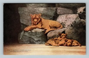New York City NY, Barbary Lioness And Cubs, Zoological Vintage New York Postcard