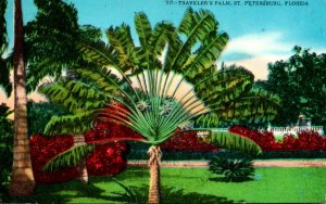 Florida St Petersburg Travelers Palm 1966