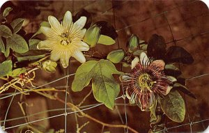 Bermuda's Passion Flower White and Purple Varieties Bermuda Island Unused