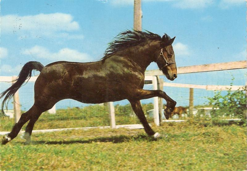 Noble Horse.Galloping Nice German postcard 1960s. Continentl size
