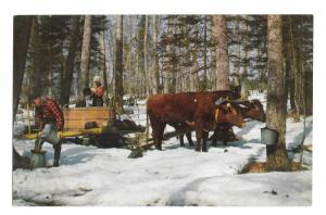 Vermont Maple Syrup Sap Gathering Vintage Derick Photo Mike Roberts Postcard
