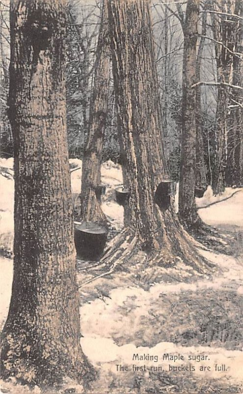 Making Maple Sugar The First Run, Buckets Are Full 1910