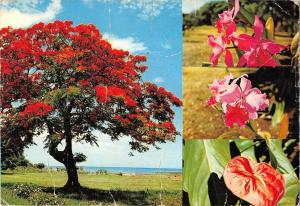 BR49750 Le flamboyant et fleurs ile maurice    Mauritius