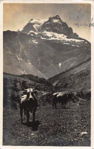 Switzerland Todi vom Weg zur Sandalp Cows Mountain Postcard