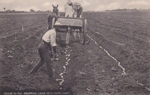 Sugar in Fiji , Dropping Cane sets from cart pulled by donkey, 00-10s
