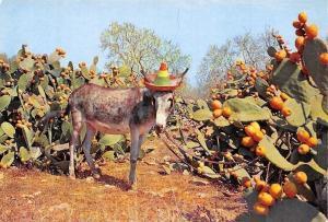Spain Campo de Chumberas, Champ de Figuiers d'Inde, Noplas Field Donkey