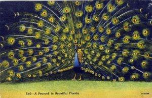 [ Linen ] US Florida Sarasota - Peacock