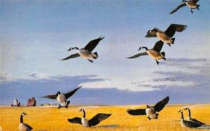 Ducks/Geese Wascana Canada Geese Regina, Saskatchewan, Canada Unused