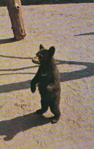 Smoky Mountains National Park Black Bear Cub