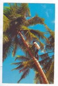 Man climbs Coconut tree, Jamaica, PU 1969 Montego Bay