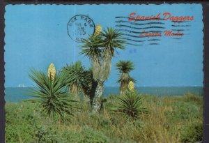 Spanish Daggers Cactus,Laguna Madra,TX BIN