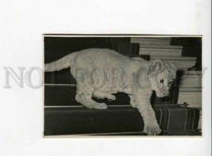 3164207 CIRCUS Young LION old REAL PHOTO card