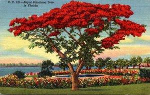 Florida Miami Royal Poinciana Tree In Full Bloom Curteich