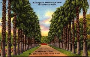 Florida St Augustine Washingtonia Robusta Palm Drive In Oldest Orange Grove