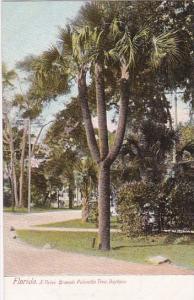 Florida Daytona Three Branch Palmetto Tree