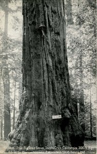 CA - Santa Cruz County. Giant, Big Trees