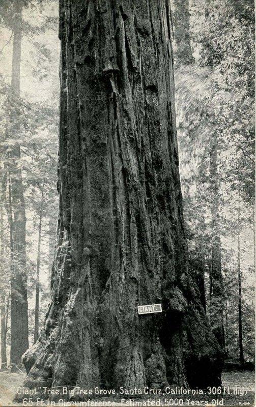 CA - Santa Cruz County. Giant, Big Trees