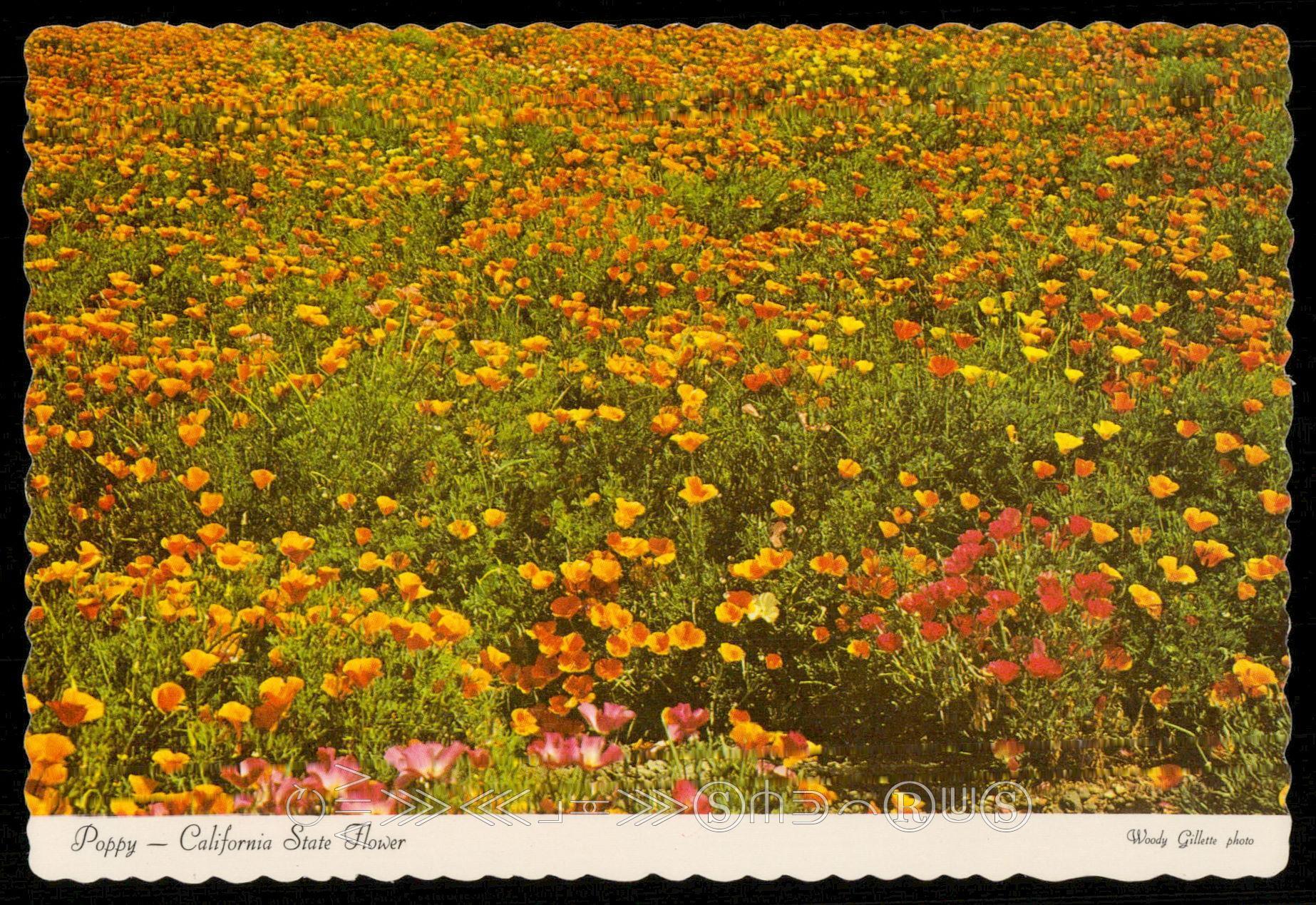 Poppy California State Flower Hippostcard