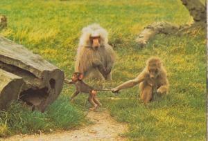 Baboon Family Pulling Babies Tail at WIndsor Safari Park 1970s Baboons Postcard