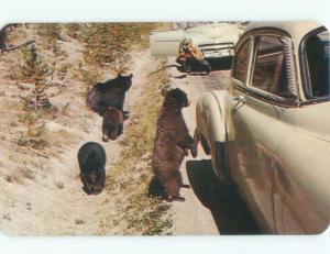 1950's BEARS WANTING FOOD FROM PEOPLE IN OLD CARS Yellowstone Park WY E6725