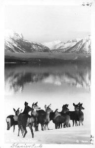 Deer Post Card Black Tailed Deer Glacier park Unused