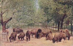 Lincoln Park Herd Of Buffalo Chicago Illinois 1910