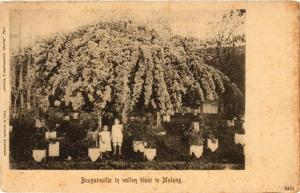 CPA BOUGAINVILLE in vollen bloei te MALANG INDONESIA (509955)