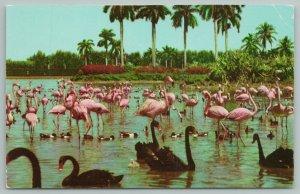 Miami Florida~Flamingos And Swans On Infield Lake~Hialeah Race~Vintage Postcard