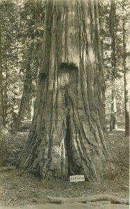 Big Trees California San Francisco C-1910 RPPC Photo Postcard 20-9837