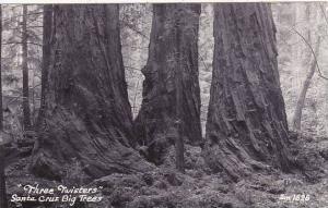 California Santa Cruz Big Trees Three Sisters 1956 Real Photo